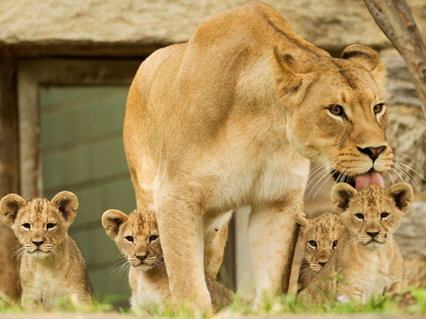 Tajiri with her cubs