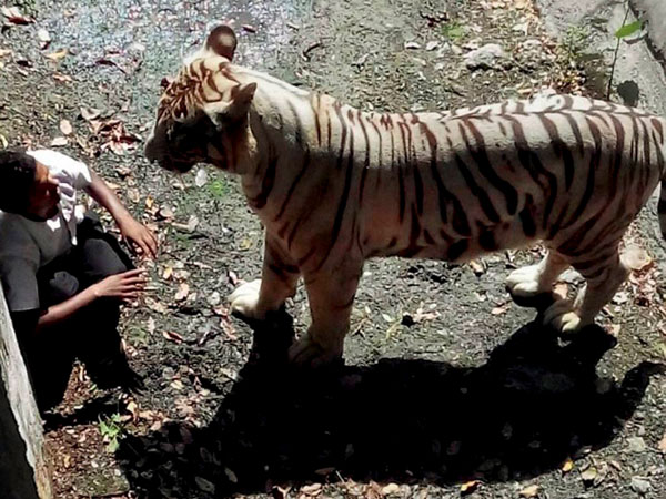 Tiger mauls boy, tragedy revisits family