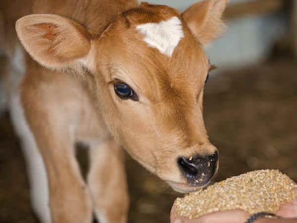Soon a law to check cow slaughter: Haryana govt