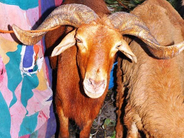 This Bakri Eid, buy goats online!