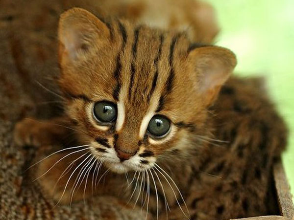 rajasthan abode to world�s smallest cats declared