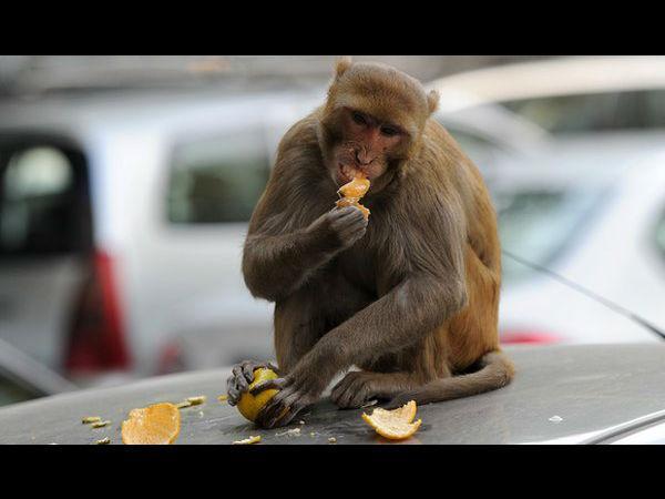 Monkeys spreading malaria in Malaysia!