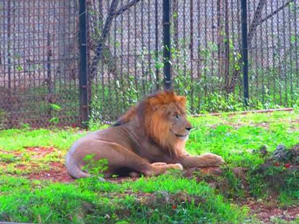 Lion to be India's National Animal?