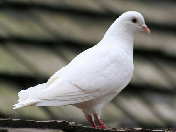 pigeon flies in from pathankot sends intelligence bureau