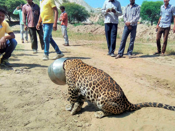 Villagers looking at a panther with its head stuck into a vessel at Sardulkheda village, 68 km from Udaipur. The pather put its head into the pot in a bid to drink water.