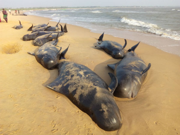 Over 100 whales wash ashore in TN