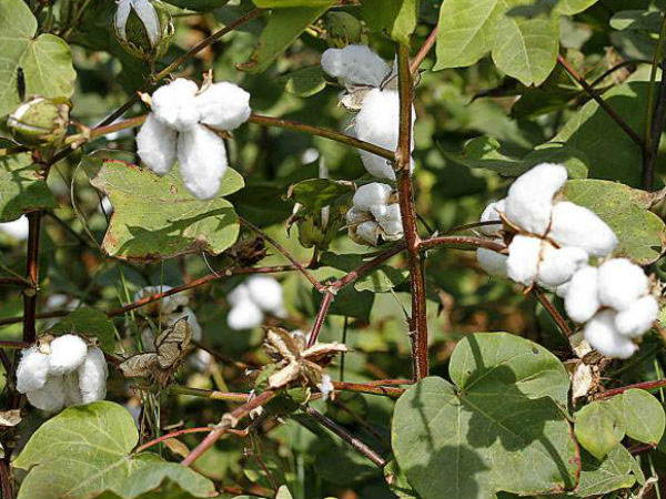 cotton-plants