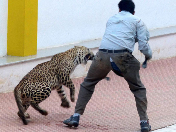 Bengaluru: Captured leopard escapes