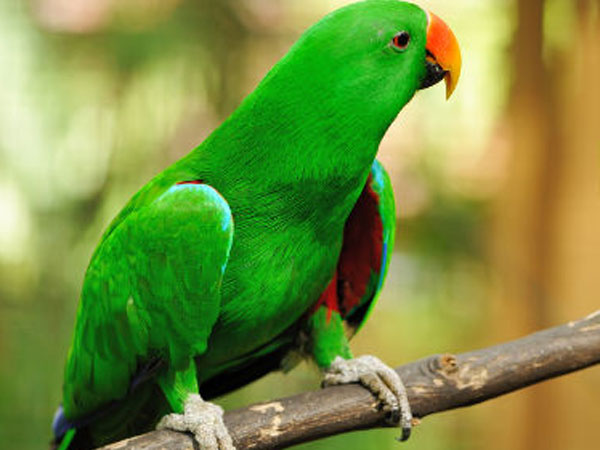 Study finds parrots as smart as apes