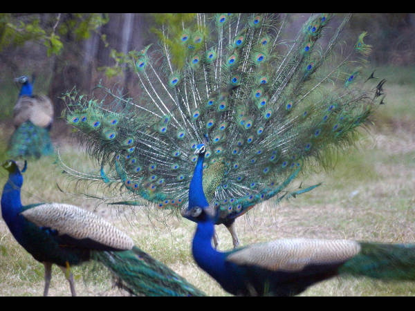 Male peacocks shake feathers to attract