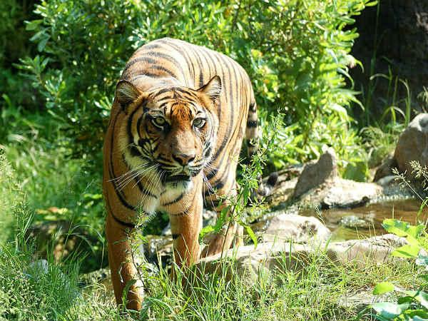 Woman jumps into tiger's enclosure
