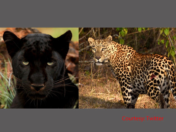 Black leopards cubs