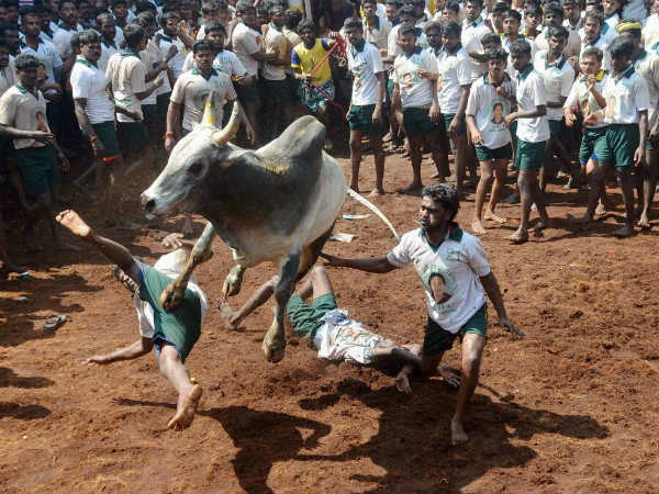 'TN making efforts to resume Jallikattu'