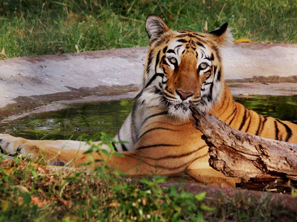 Royal Bengal tiger's carcass found in Kaziranga National Park.