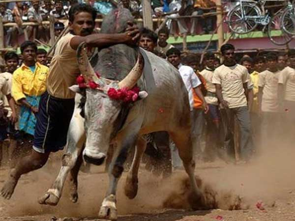 Supreme Court refuses review ban on Jallikattu