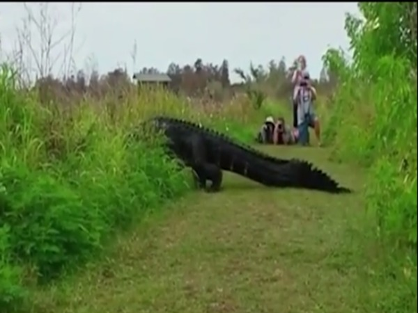 Alligator crosses path non-chalantly