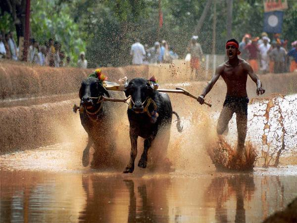 A participant during the Kambala in Mangalore