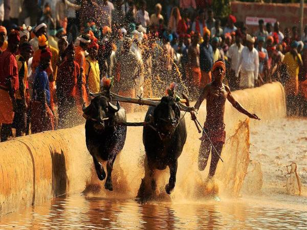 Buffalo race during Kambala festival at Moodbidri