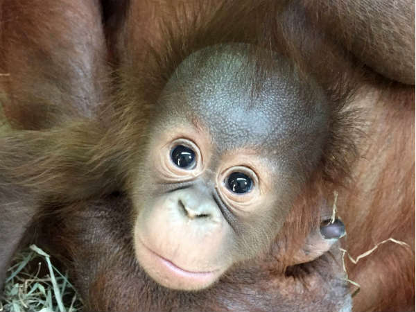 Lil baby orangutan competes to be the cutest