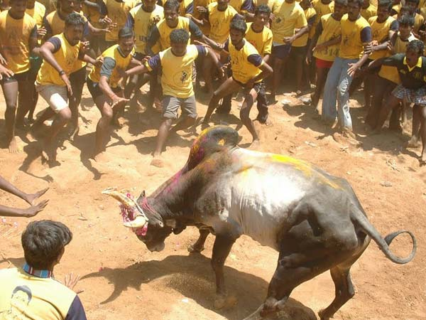 Jallikattu is about saving the bull