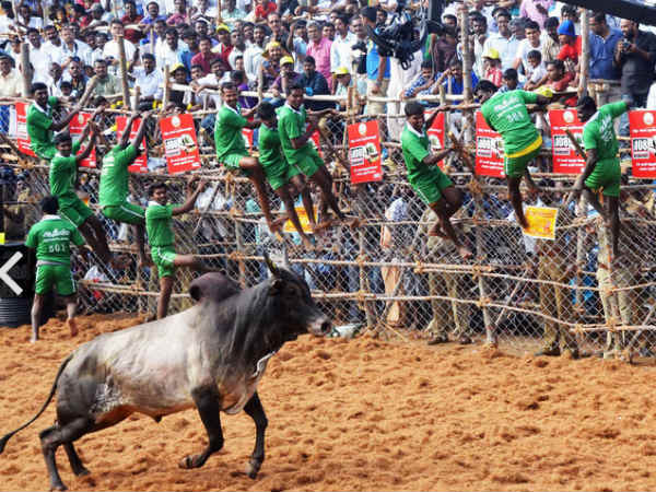 SC refuses to stay TN's Jallikattu bill