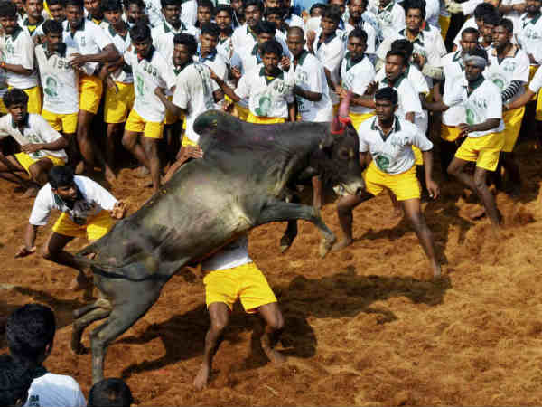 All you need to know about Jallikattu