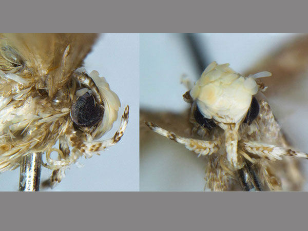 The moth discovered by evolutionary biologist Vazrick Nazari from Ottawa, Canada.