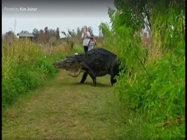 Giant alligator strolls past tourists in Florida reserve