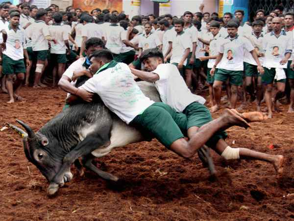 What SC ban? TN villages organising Jallikattu anyway!