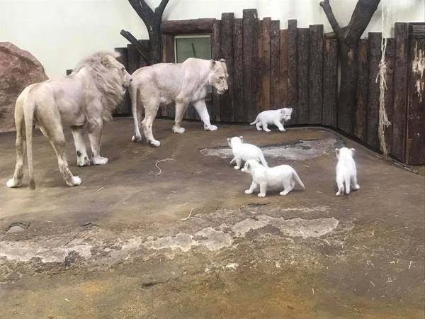 adorable white lion cubs in a german zoo melt hearts oneindia news. Black Bedroom Furniture Sets. Home Design Ideas