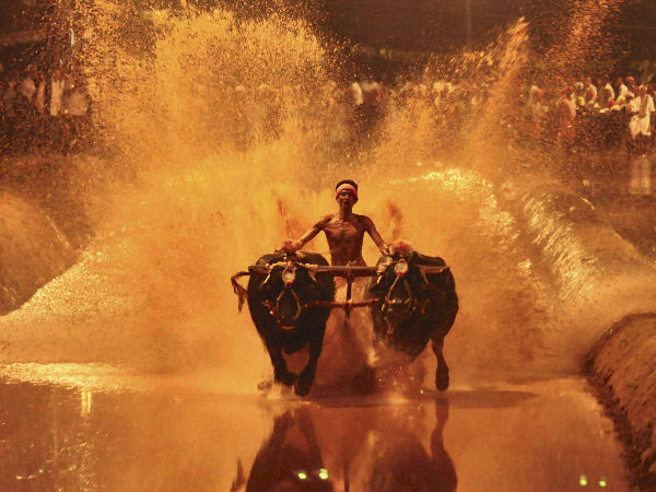 A competitor takes part in the Kambala near Mangalore in this file photo