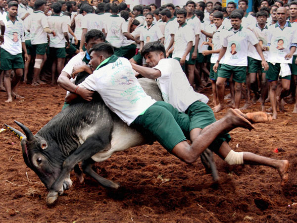 TN: On Pongal day, traditional bull-taming event Jallikattu begins in Madurai