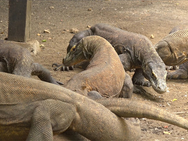 What are Komodo dragons?