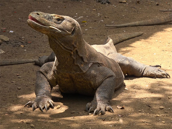 How big is the Komodo dragon?