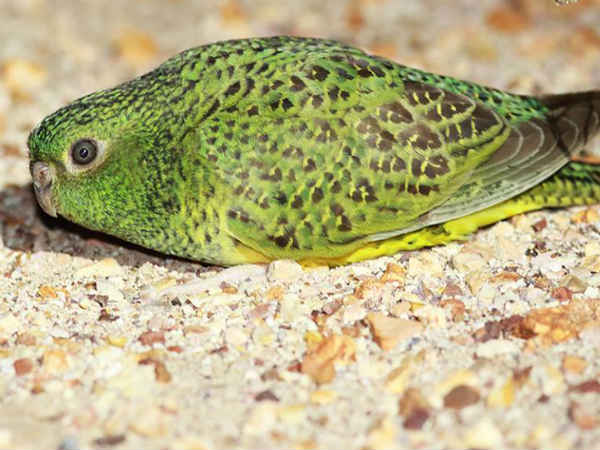 Endangered Australian night parrot. Photo credit: @birdhism/Facebook
