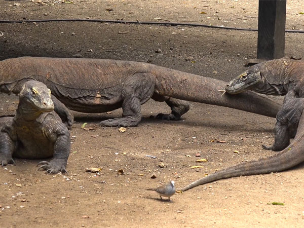 Is the Komodo dragon endangered?
