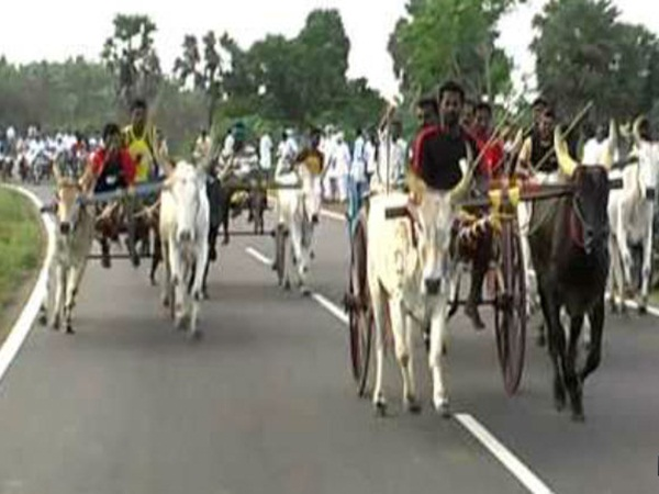 PETA to challenge legislation to resume bullock cart races