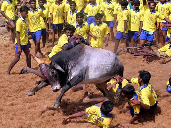 'Is jallikattu a cultural right?': SC refers matter to Constitution Bench