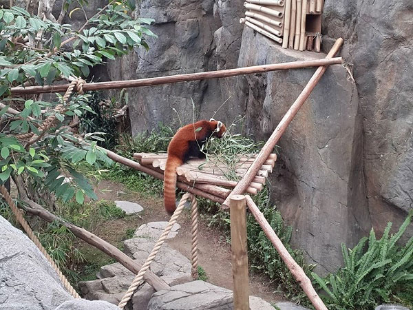 Endangered Red Panda rescued in Assam
