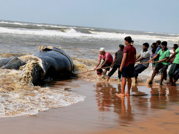 Whale carcass washes ashore in two parts at Juhu, Madh beaches