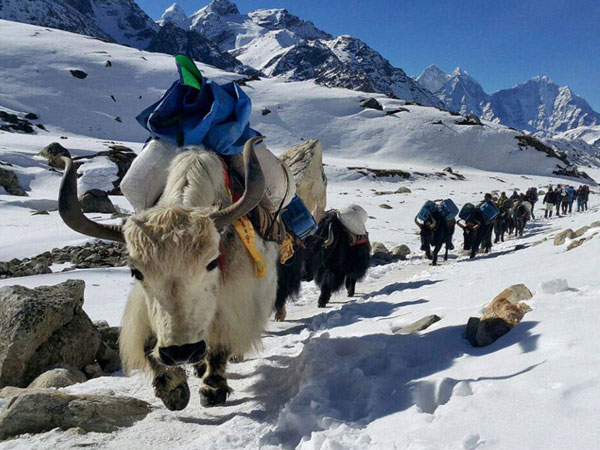 Yaks moving towards Mount Everest's base camp ferrying supplies