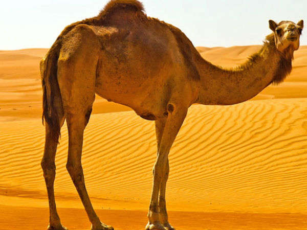 The camel hump
