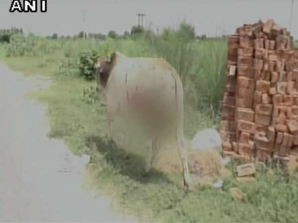 Miscreants throw acid on bulls and cows in Agra