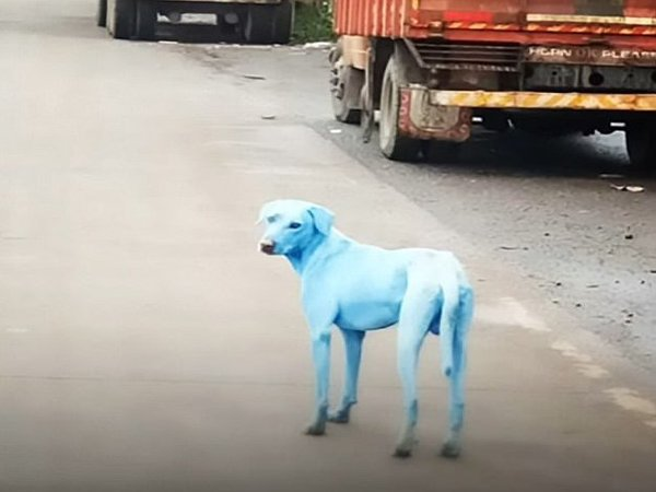 Pollution in the Kasadi river is turning Mumbai dogs blue