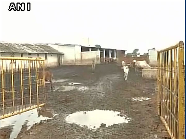 Chhattisgarh: 200 cows 'die of hunger' at Gaushala run by BJP leader