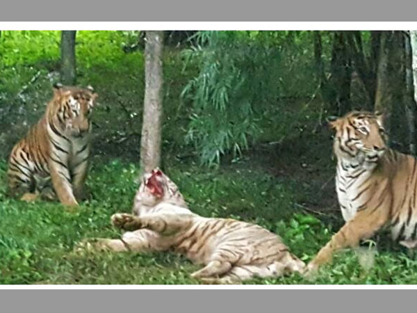 White Tiger dies after being attacked by Royal Bengal Tigers in Bannerghatta Bio Park