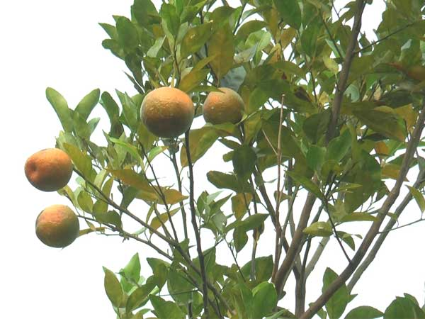 World famous Darjeeling oranges could face stiff competition from North Dinajpur oranges in the near future