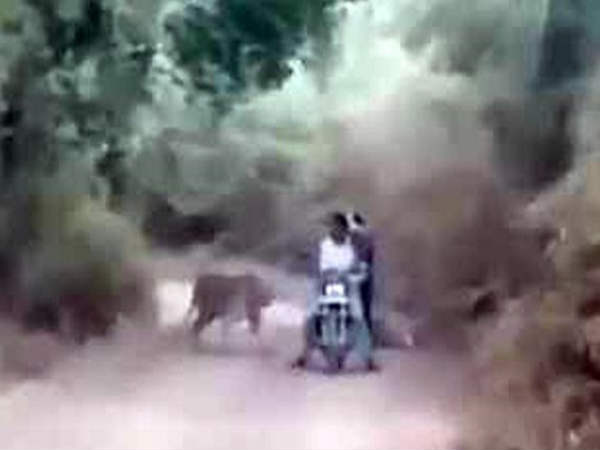 Surrounded by tigers, bikers escape