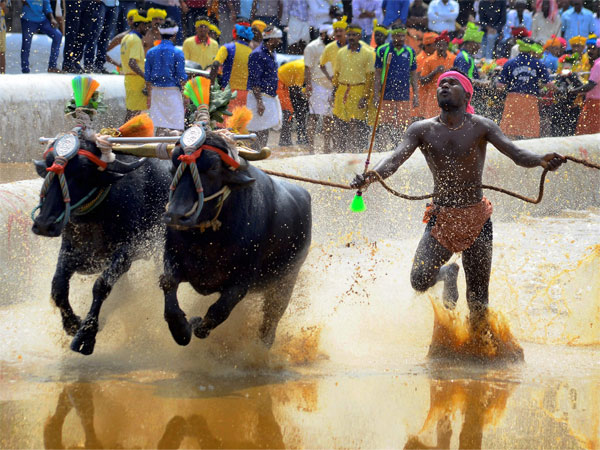 A jockey rides his buffaloes at the slush track during Kambala (an annual buffalo race) in Moodabidri near Mangalore . PTI file photo