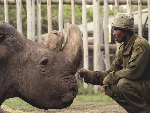 the world's last male northern white rhino, age 45, died at Ol Pejeta Conservancy in Kenya on March 19th, 2018. Courtesy: @OlPejeta
